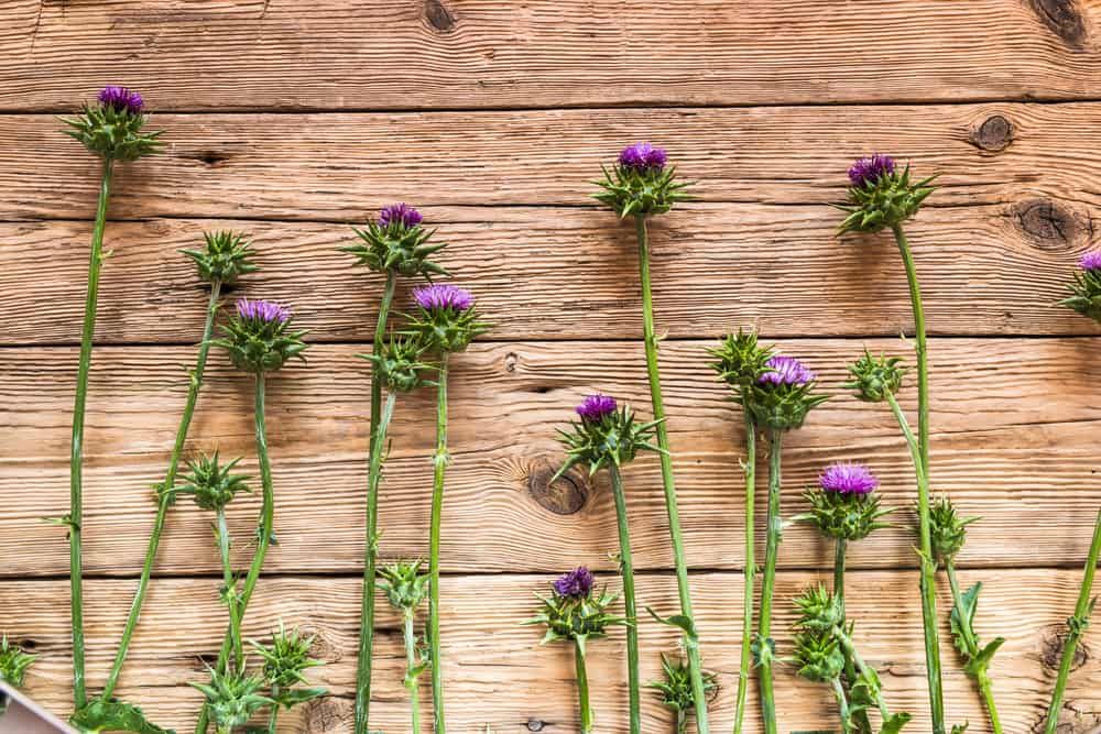 The Science Behind Some Liver-Loving Herbs: Milk Thistle and Berberine to the Rescue!