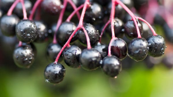 Close up of black elderberry