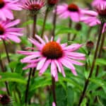 Beautiful echinacea blooms