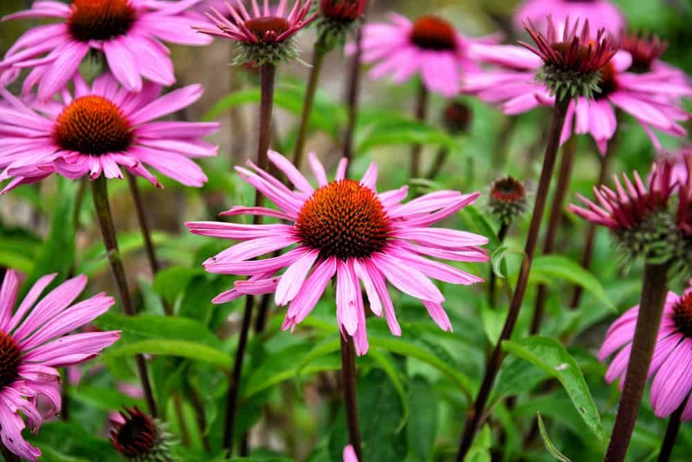 The Power of Echinacea