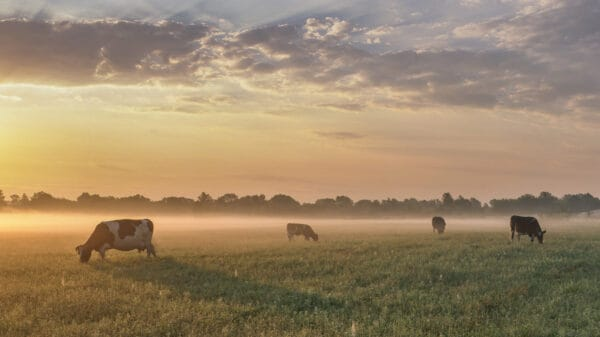 Image of cows in a pasture - source for glandulars